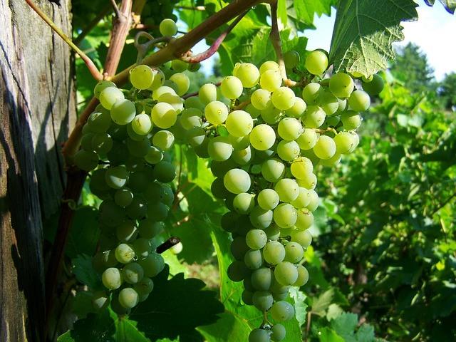 agrohomeopatia, vinič