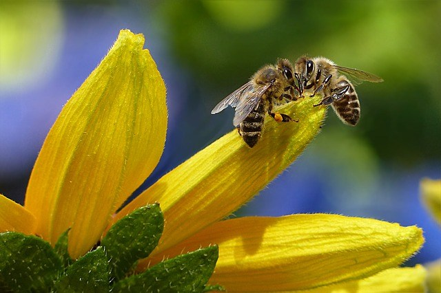 apis mellifica - včela medonosná