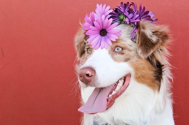 falošná gravidita a poruchy menštruačného cyklu u psov