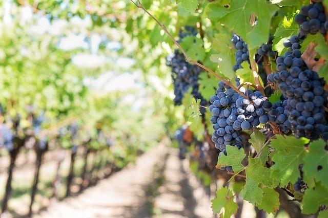 Rok vinohradníka - Homeopatia a pestovanie viniča